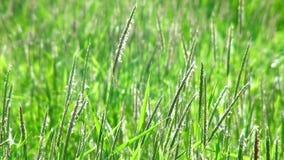 Groen gras die in de wind slingeren. stock videobeelden