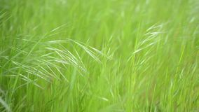 Groen gras die in de wind slingeren stock videobeelden