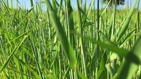 Groen gras die in de wind slingeren stock footage