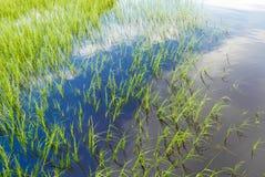 Groen gras in een blauw watermoeras Stock Afbeelding