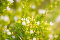 Groen gras en kleine witte bloemen op het gebied Mooie som Stock Fotografie