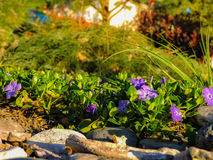 Groen Gras en Purpere Bloemen Stock Foto