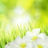Groen gras en witte bloemen Royalty-vrije Stock Foto
