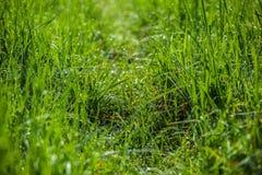 Groen gras Het close-up van dauwdalingen op vers groen de lentegras Stock Afbeelding