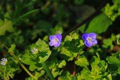 Groen gras met blauwe bloemen Stock Afbeelding