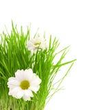 Groen gras met camomiles Royalty-vrije Stock Foto's