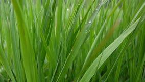 Groen gras met dalingen de macro mooie lente als achtergrond op wind Videolengtehd shootig statische camera stock footage