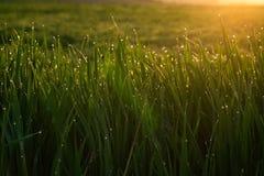 Groen gras met dalingen van dauw bij zonsopgang in de lente in de zonlicht achtergrondschoonheid van concept van de aard het wekk stock foto