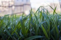 Groen gras met dauw in de vroege ochtend Stock Afbeelding