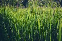 Groen gras met dauwdalingen Stock Afbeelding