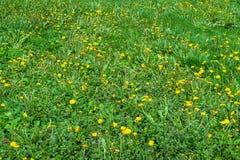 Groen gras met gele bloemenachtergrond Een tapijt van vers groen gras en jonge gele bloemen royalty-vrije stock afbeelding