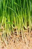 Groen gras met grond dichte omhooggaand Stock Foto's