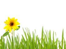 Groen gras met zonnebloem Royalty-vrije Stock Afbeeldingen