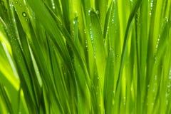 Groen gras na regen Stock Fotografie