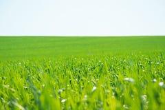 Groen gras onder blauwe hemel Stock Afbeeldingen