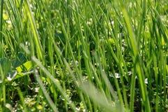 Groen gras op de gazonclose-up Achtergrondtextuurbehang stock afbeeldingen