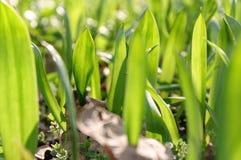 Groen gras op de gazonclose-up Achtergrondtextuurbehang stock afbeelding
