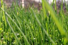 Groen gras op de gazonclose-up Achtergrondtextuurbehang stock fotografie