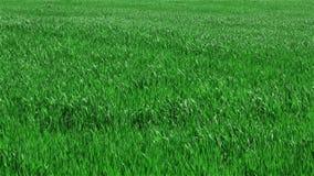 Groen gras op gebied stock footage