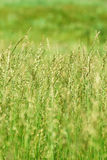 Groen gras op gebied Royalty-vrije Stock Afbeeldingen