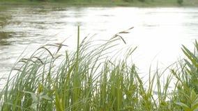 Groen gras op wind over waterachtergrond stock footage