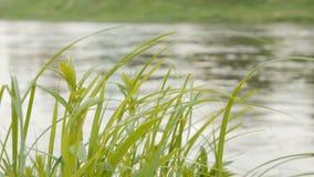 Groen gras op wind over waterachtergrond stock videobeelden