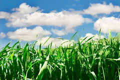 Groen gras over hemel Royalty-vrije Stock Foto
