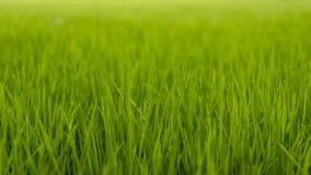 Groen gras van padiegebieden Stock Afbeelding