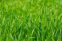 Groen grasclose-up als achtergrond stock afbeeldingen