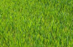Groen grasgebied Stock Afbeeldingen