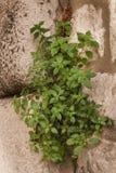Groen het groeien door de steen Royalty-vrije Stock Fotografie