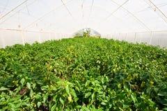 Groen huis met peperaanplanting Stock Afbeeldingen