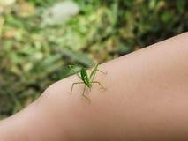 Groen insect royalty-vrije stock afbeelding