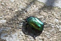 Groen insect Royalty-vrije Stock Afbeeldingen