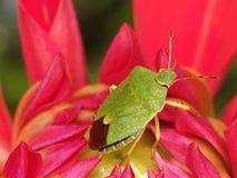 Groen insect in bloem stock afbeelding