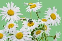 Groen insect en witte camomiles Stock Fotografie