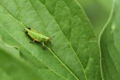 Groen insect op groen blad royalty-vrije stock afbeelding