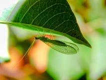 Groen Insect op Bladmacro stock foto's