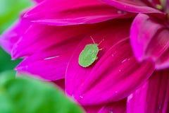 Groen insect op een mooie roze bloem royalty-vrije stock afbeelding