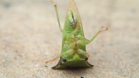 Groen insect op zijn rug stock videobeelden
