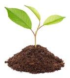 Groen jong boompje van appelboom Royalty-vrije Stock Afbeelding