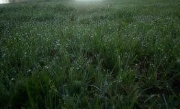 Groen jong gras in de dauw op een de lenteochtend, donker schot stock foto