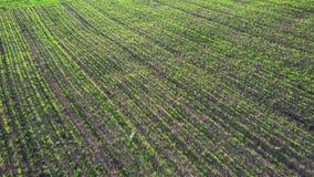Groen jong tarwe of korrelverscheidenheden winderig gebied van luchthommelmening stock footage