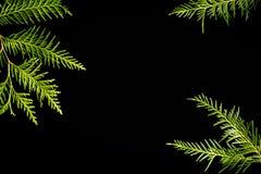 Groen kader van de takken van de thujaboom op een zwarte achtergrond Altijdgroene textuur, exemplaarruimte royalty-vrije stock afbeeldingen