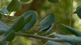 Groen kameleon stock footage