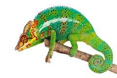 Groen Kameleon op tak Stock Foto