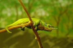Groen kameleon op tak royalty-vrije stock foto's
