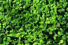 Groen klavergebied Stock Fotografie