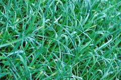 Groen knoflook in de groei stock fotografie