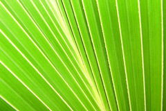 Groen kokosnotenblad royalty-vrije stock fotografie